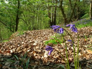 Blue bells in the wood