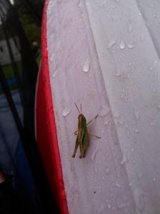 very wet Grasshopper on Saturday morning