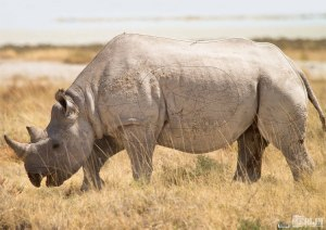 Merlin Rhino