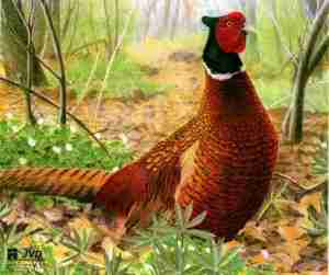 JVD Pheasant