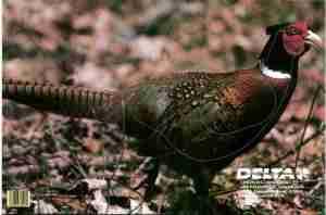Delta Pheasant