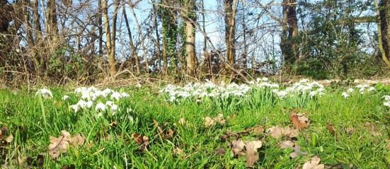 spring is almost here - snowdrops