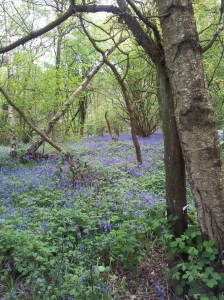 Bluebells at Long Eaton wood
