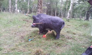 Lucky shot on boar