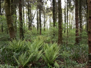 A course - view of the ferns in the woodland