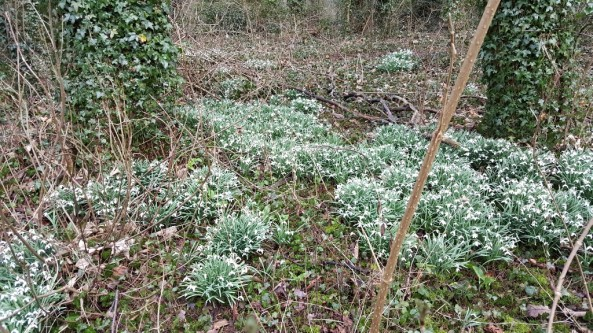 Banks of snowdrops at Centaura