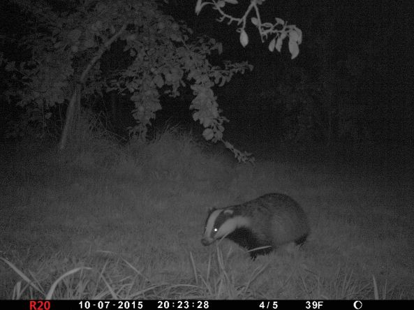 Pretty clear image of badger at night with trail cam