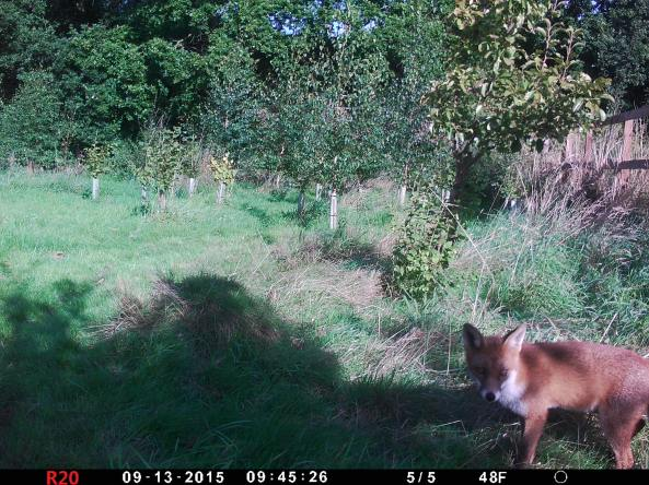 Fox in daylight with trail cam