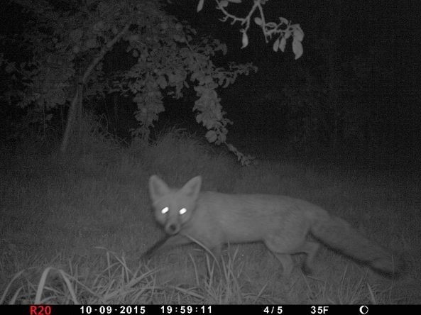 Fox by night with trail cam