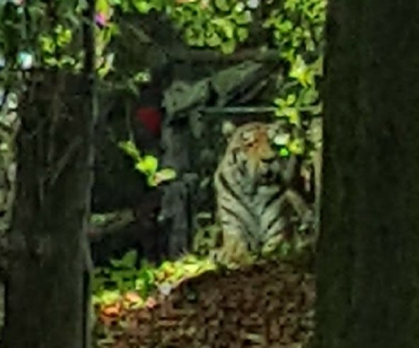 close up view of the tiger face on the hillside